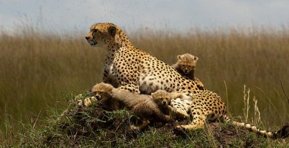 cheetah-with-cubs