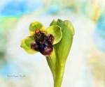 1_Ophrys bombyliflora
