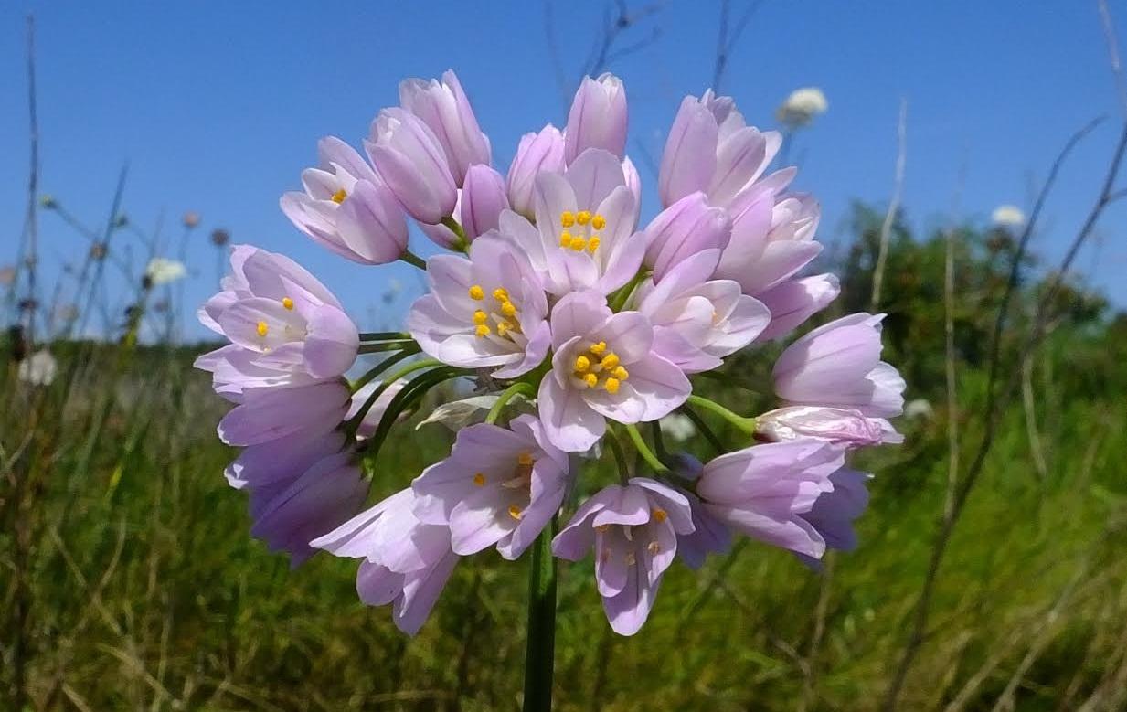 Άλλιο το ρόδινο _Allium roseum_1