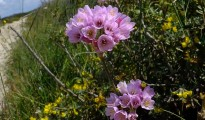 Άλλιο το ρόδινο _Allium roseum_2