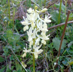 Orchis provincialis_1