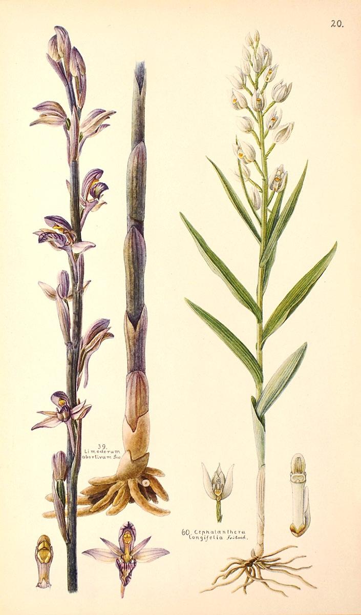 2_Limodorum abortivum