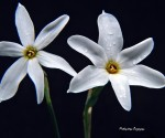 1_Narcissus obsoletus