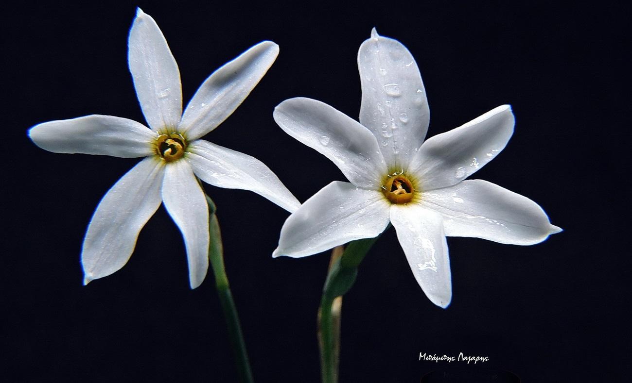 1_Narcissus obsoletus