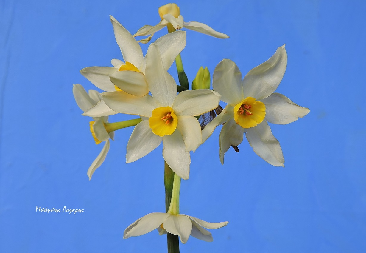 1_Narcissus tazetta