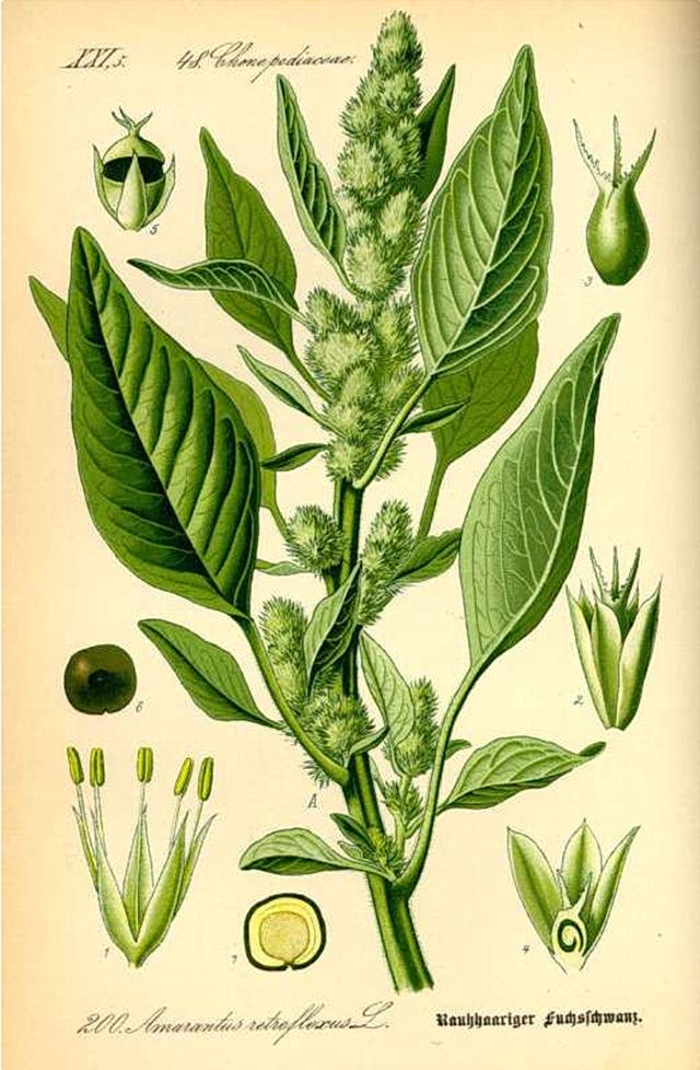 2_Amaranthus retroflexus