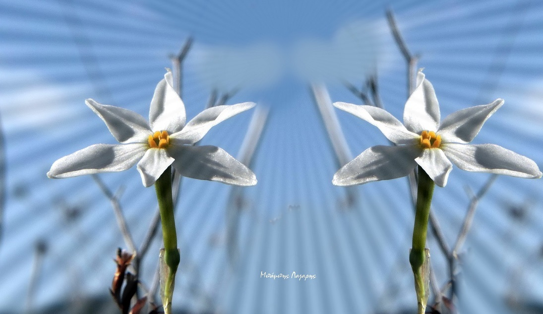 2_Narcissus obsoletus