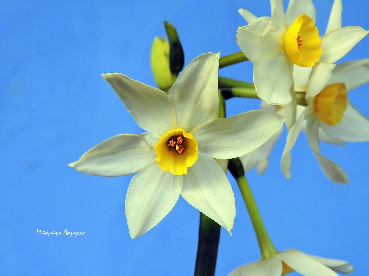 2_Narcissus tazetta