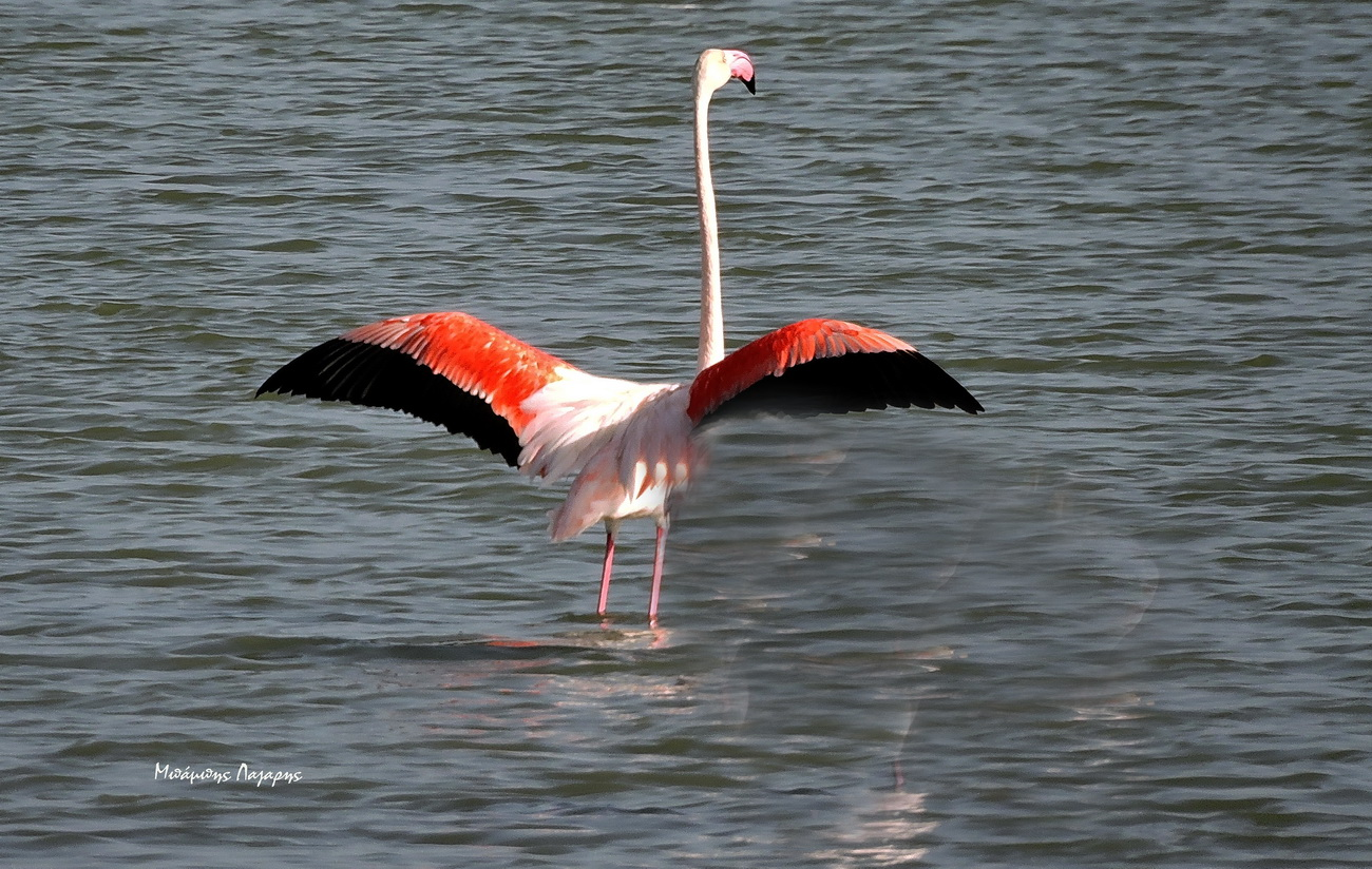 2_flamingko_Lefkada