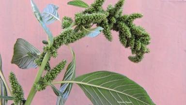 3_Amaranthus retroflexus