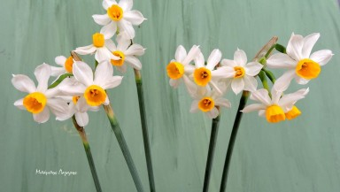 3_Narcissus tazetta