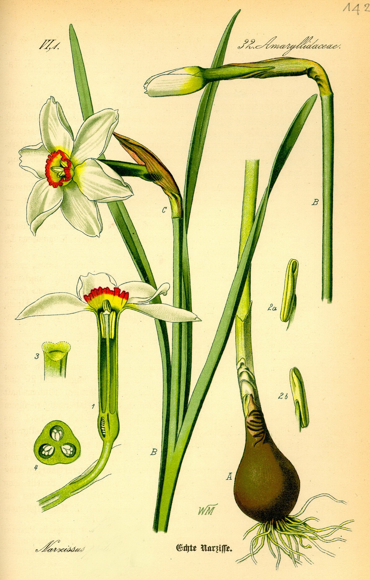4_Narcissus tazetta