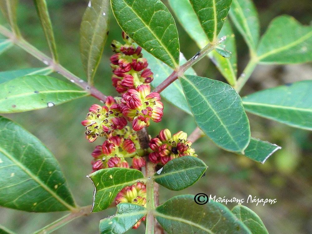 1_Pistacia lentiscus