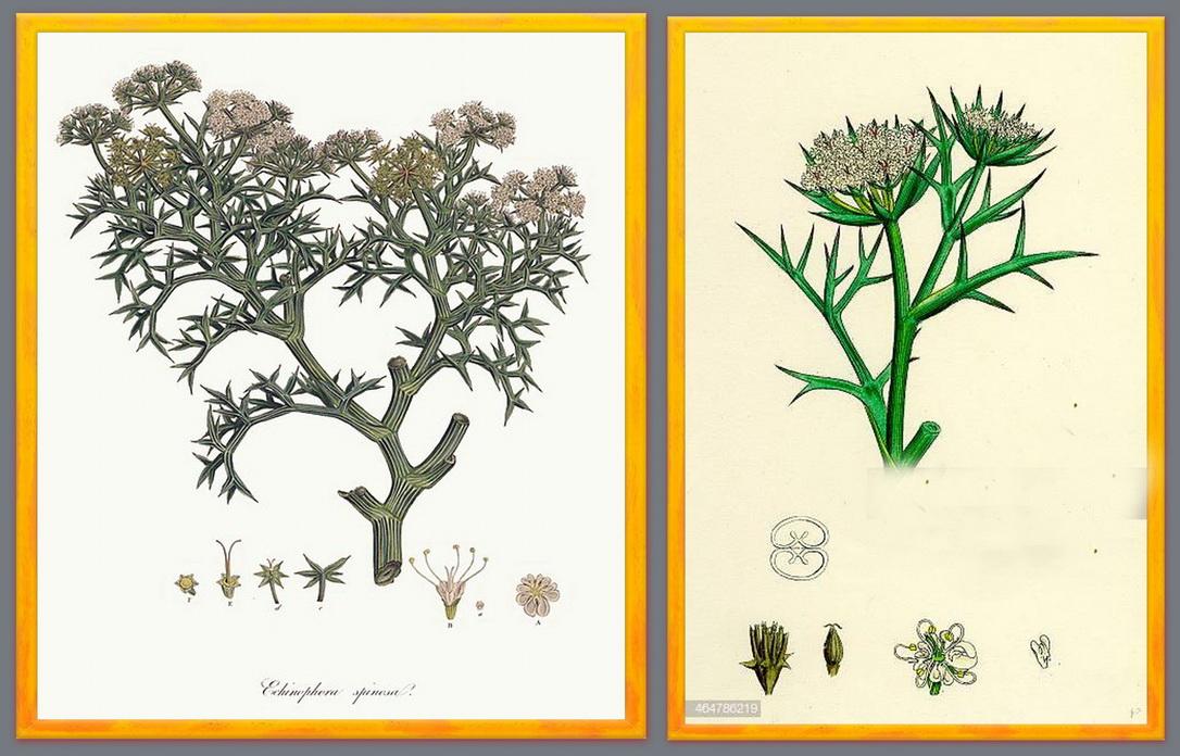 2_Echinophora spinosa