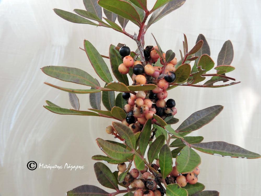 2_Pistacia lentiscus