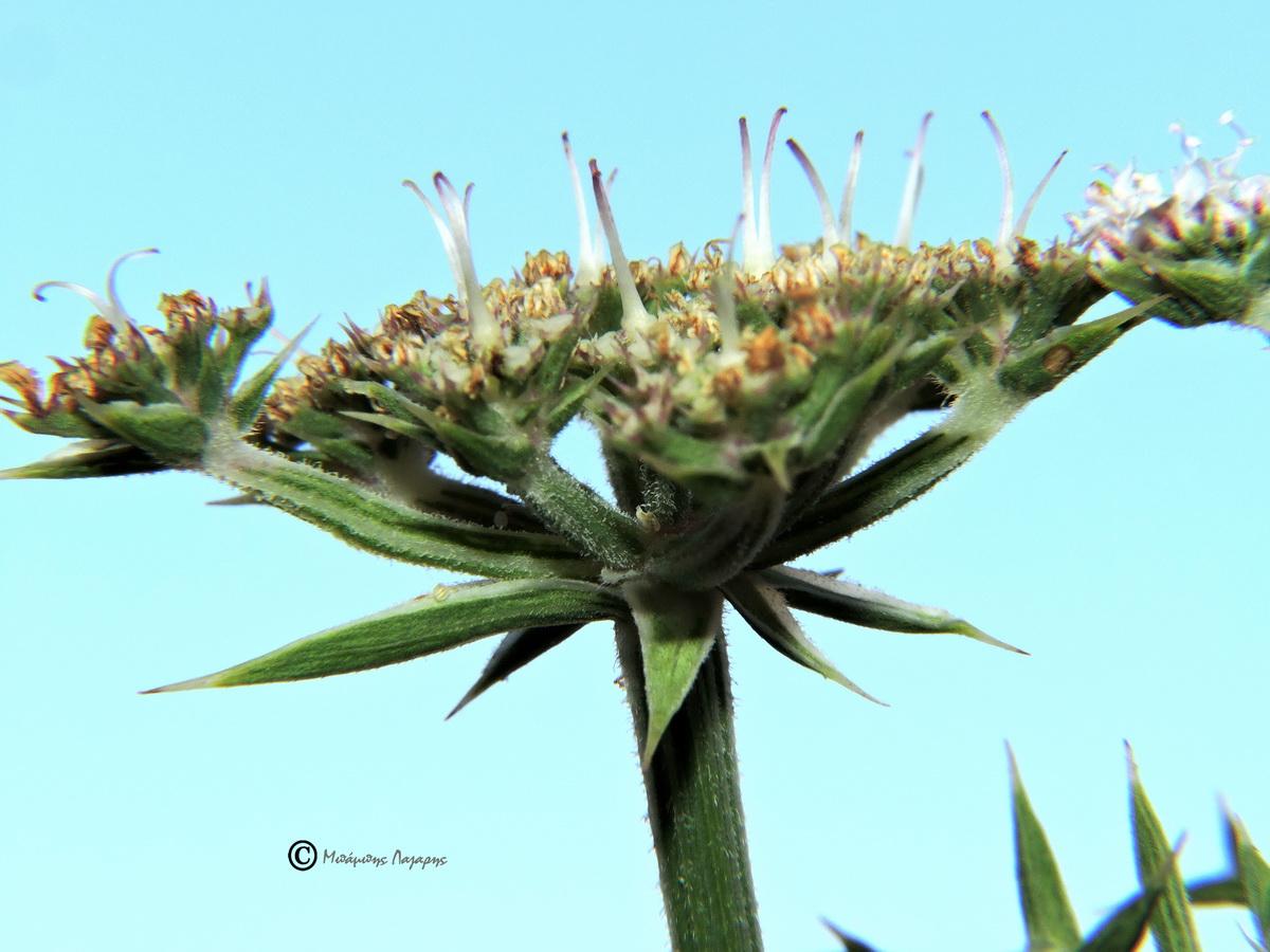 3_Echinophora spinosa