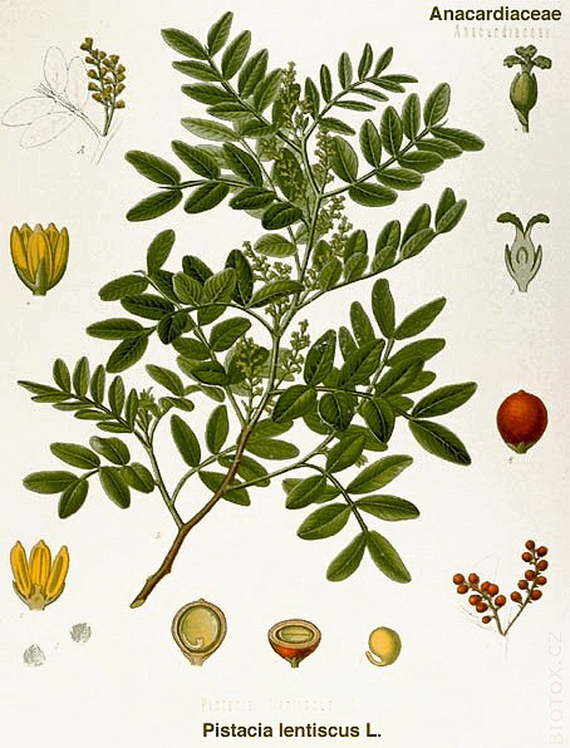 4_Pistacia lentiscus