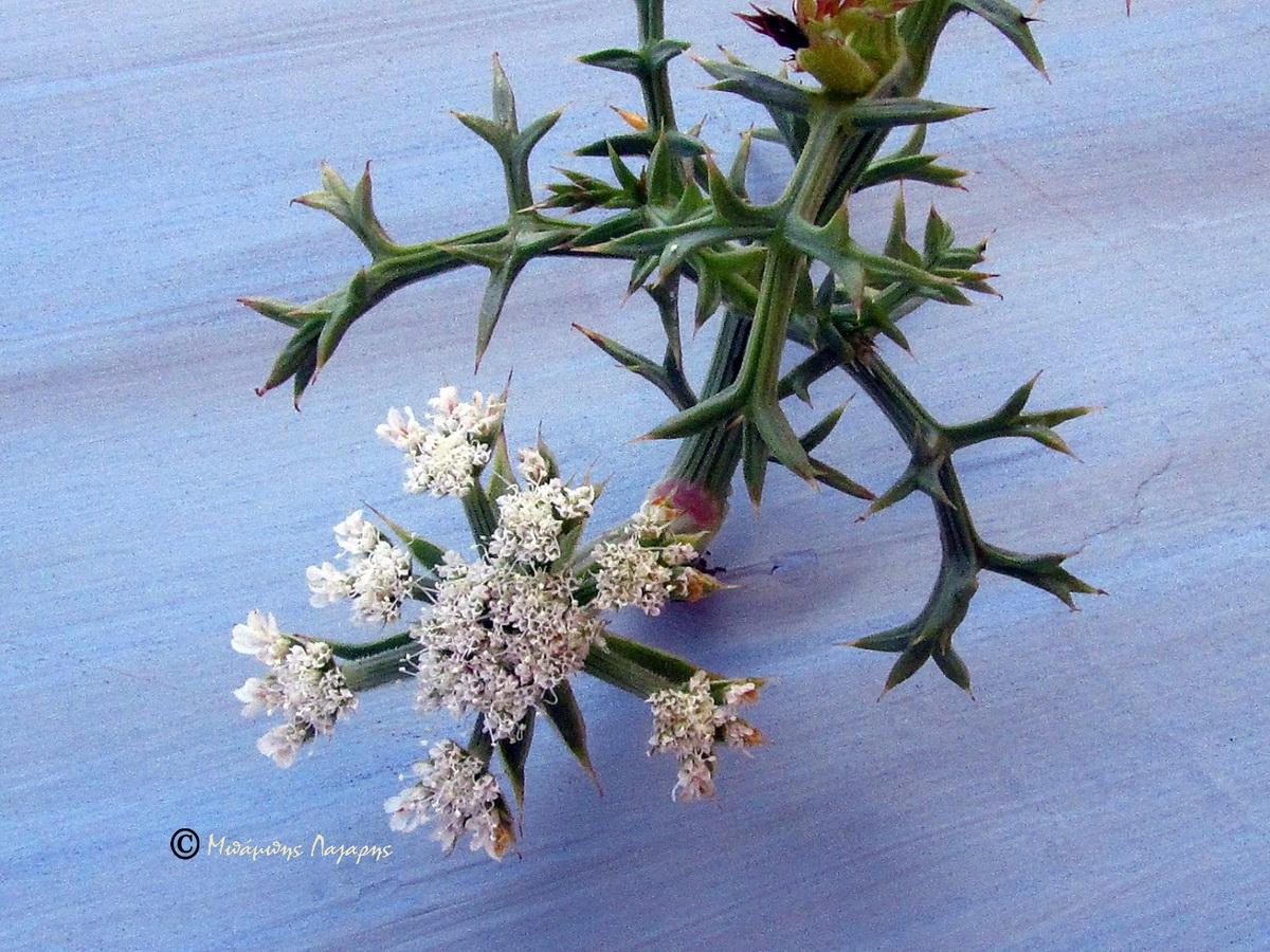 6_Echinophora spinosa
