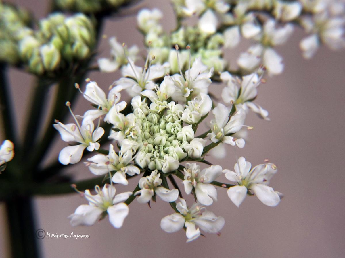 6_Oenanthe pimpinelloides