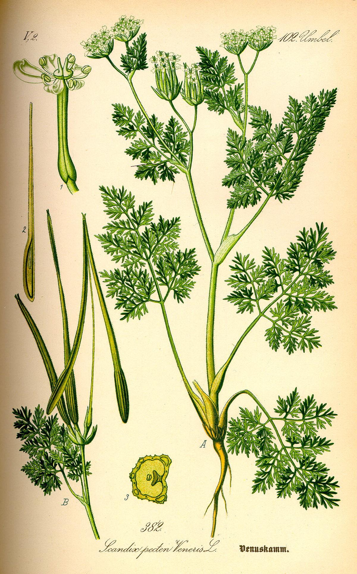 6_Scandix pecten veneris