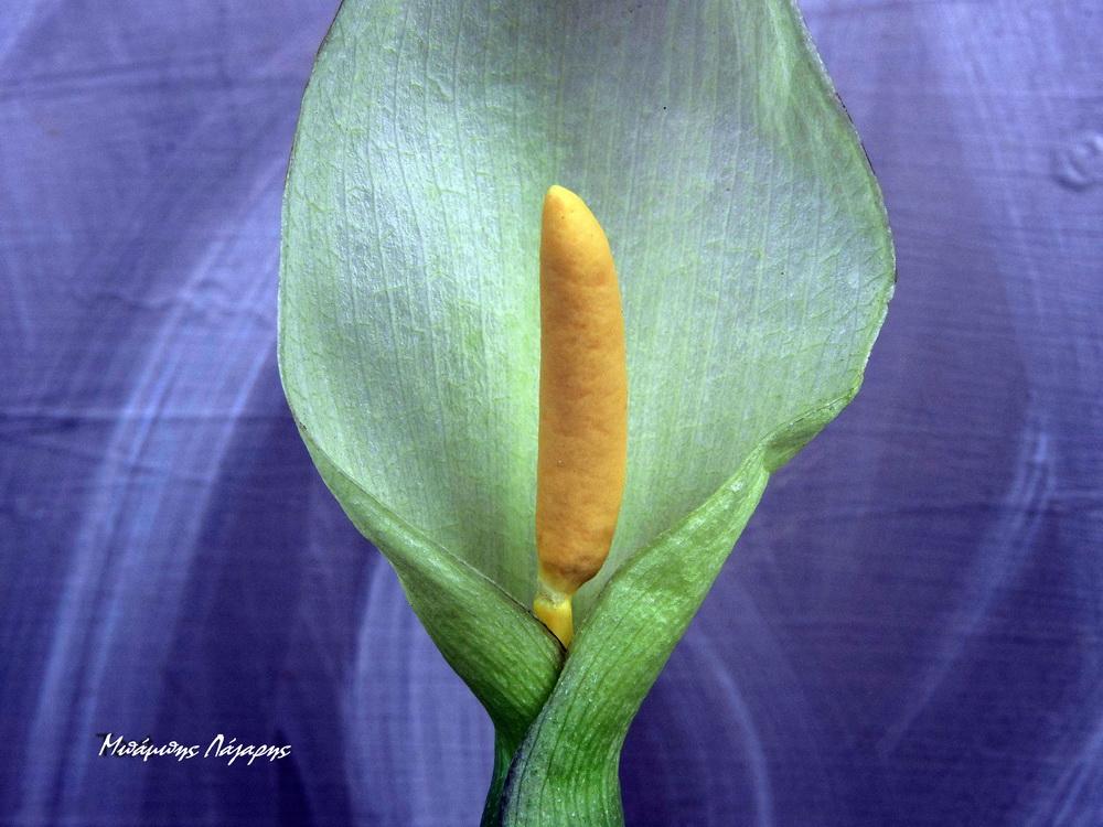 2_Arum maculatum