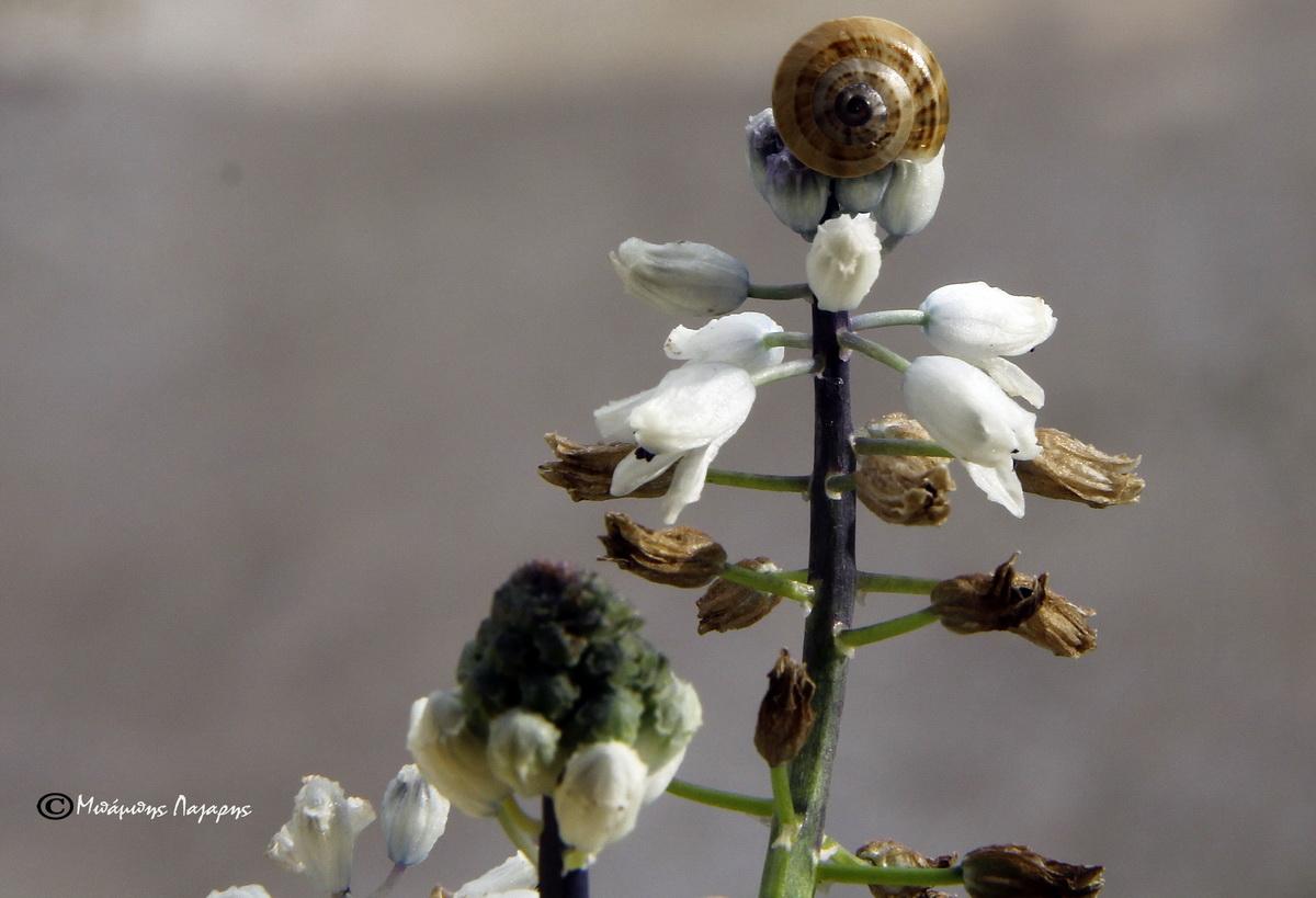 2_Bellevalia hyacinthoides