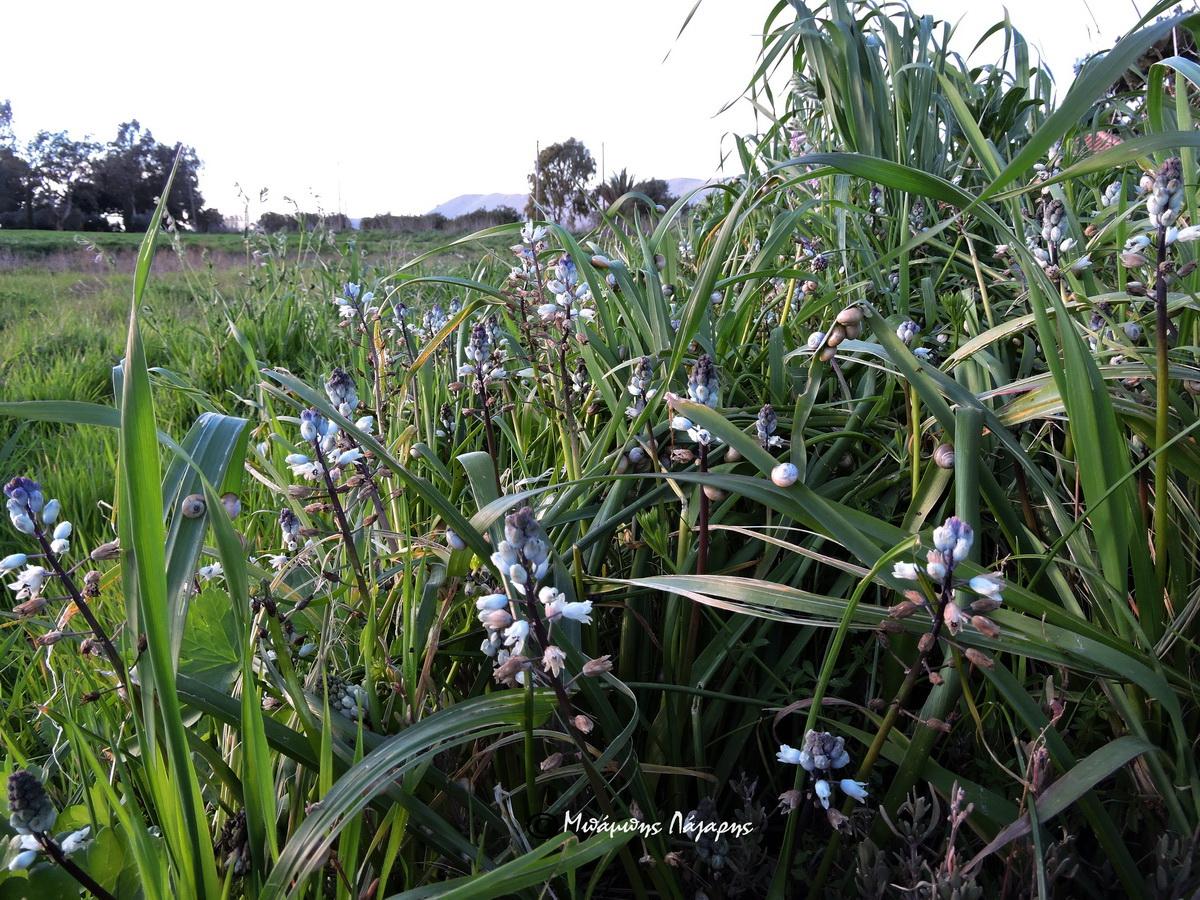 4_Bellevalia hyacinthoides