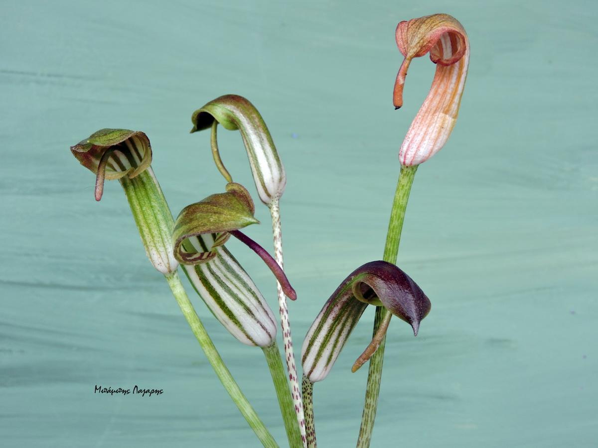 5_Arisarum vulgare