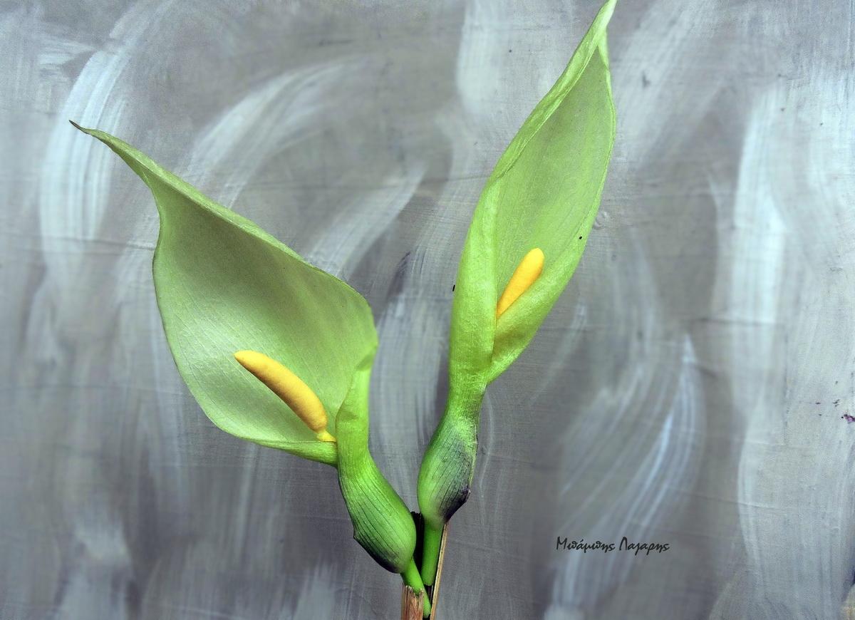 5_Arum maculatum