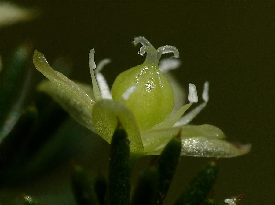 5_Asparagus acutifolius