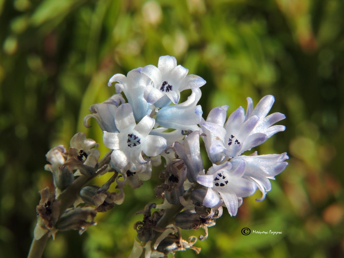 6_Bellevalia hyacinthoides