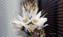 1_Asphodelus ramosus