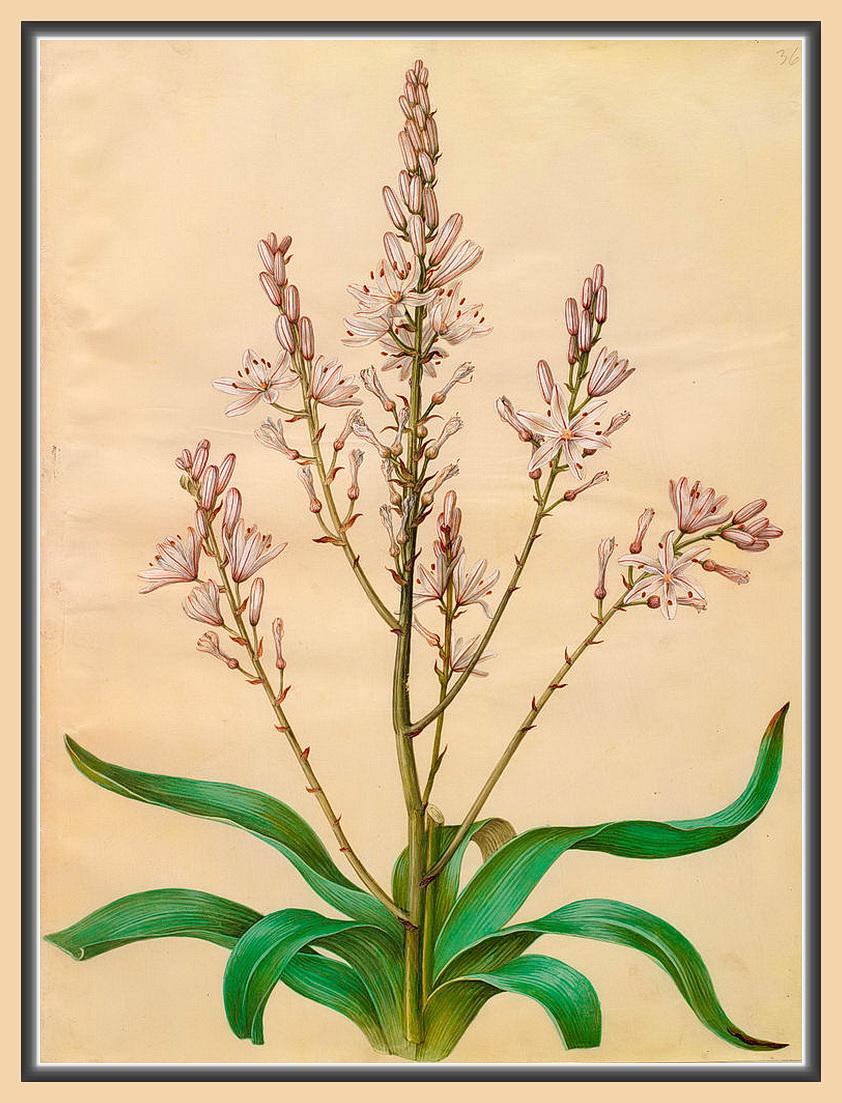 3_Asphodelus ramosus