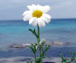 5_Anthemis sp.