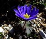 1_Anemone blanda