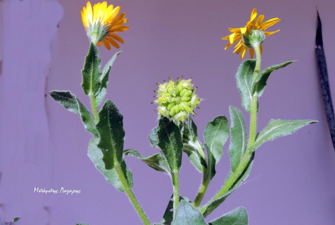 1_Calendula arvensis