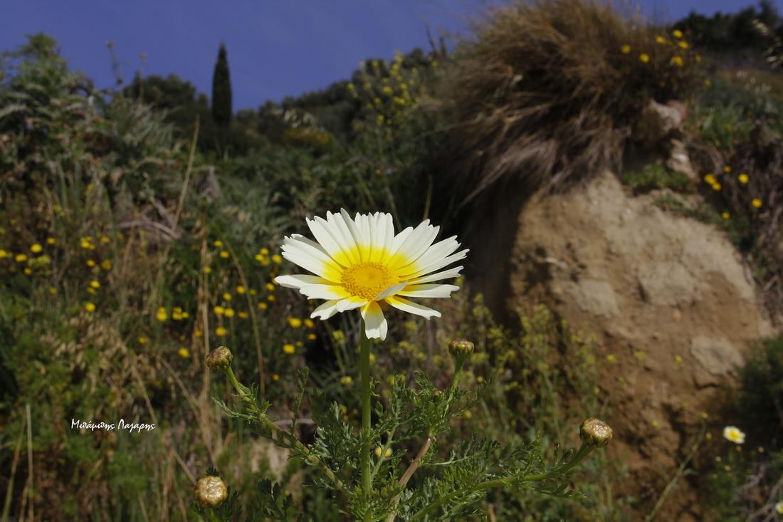 1_Chrysanthemum coronarium