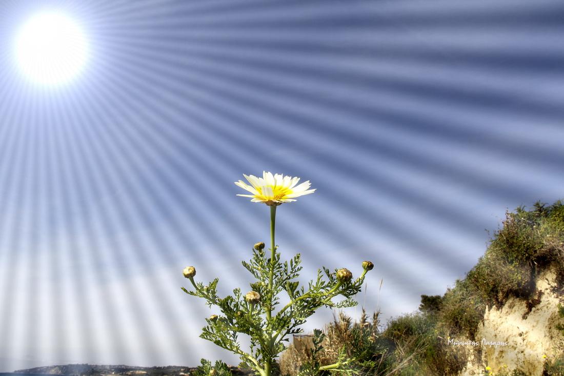2_Chrysanthemum coronarium