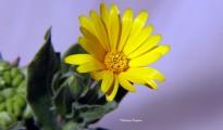 3_Calendula arvensis