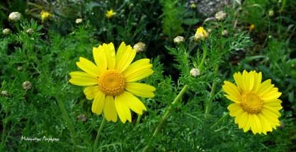 3_Chrysanthemum coronarium