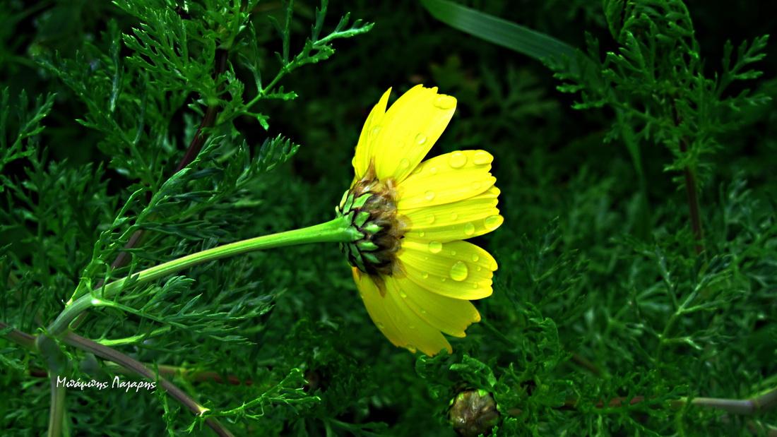 4_Chrysanthemum coronarium