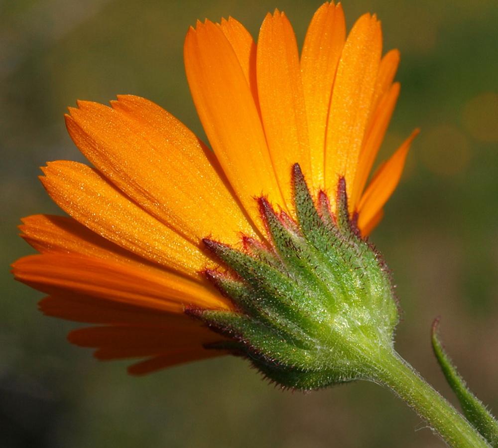 5_Calendula arvensis
