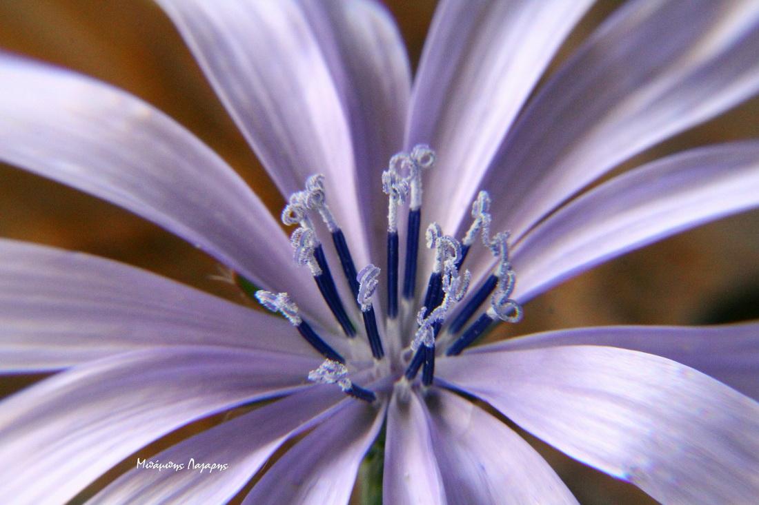 6_Cichorium intybus