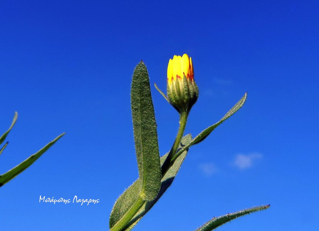 8_Calendula arvensis