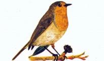 Erithacus rubeculata 2