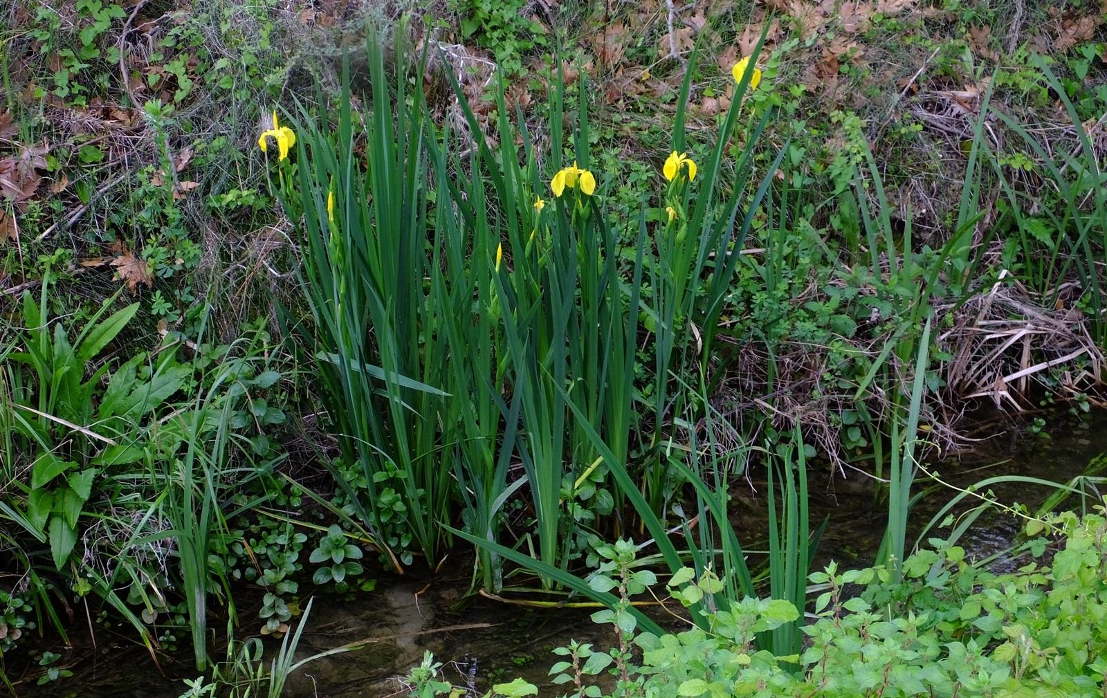 1_Iris pseudacorus