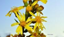 3_Dittrichia viscosa