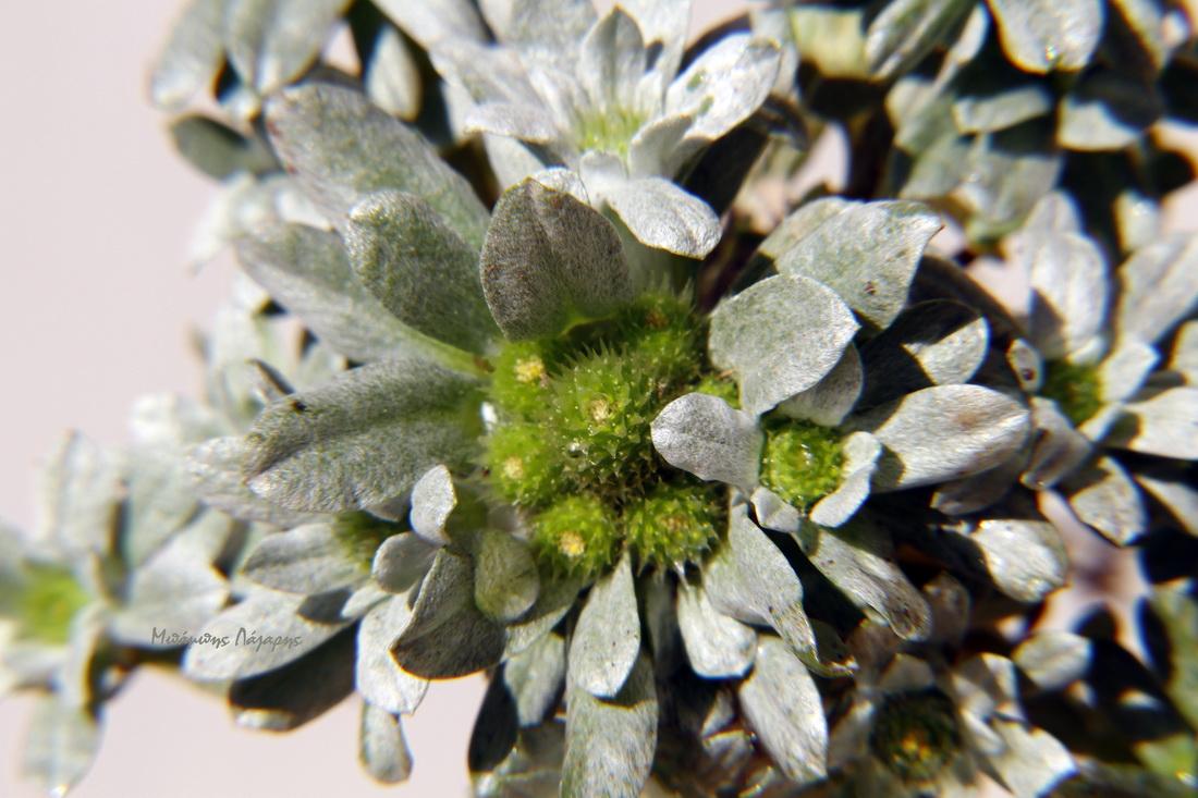 3_Filago pygmaea