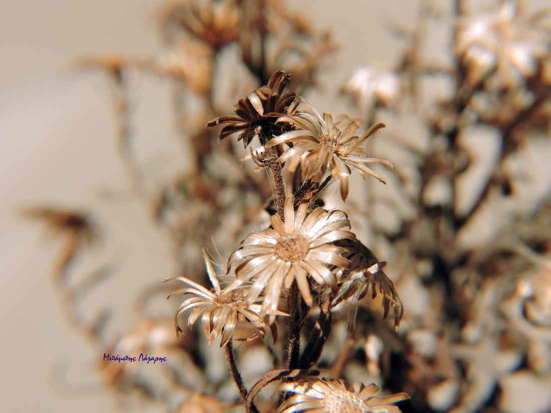 4_Dittrichia viscosa