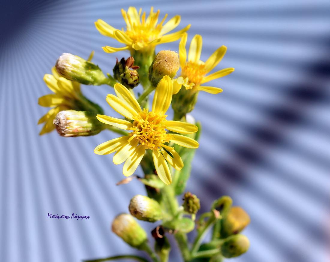 5_Dittrichia viscosa